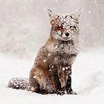 Red@Fox